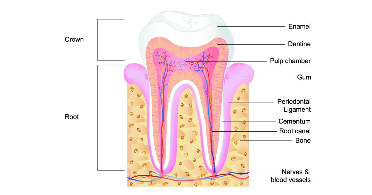 How does a tooth look like on the inside? | Tibor Dental